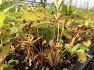 눈개승마모종 , 능개승마모종 판매 - 울릉도삼나물 눈개승마재배