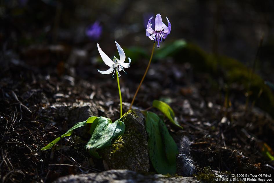 春風が吹く春の花がどこで咲いさ - カタクリの花