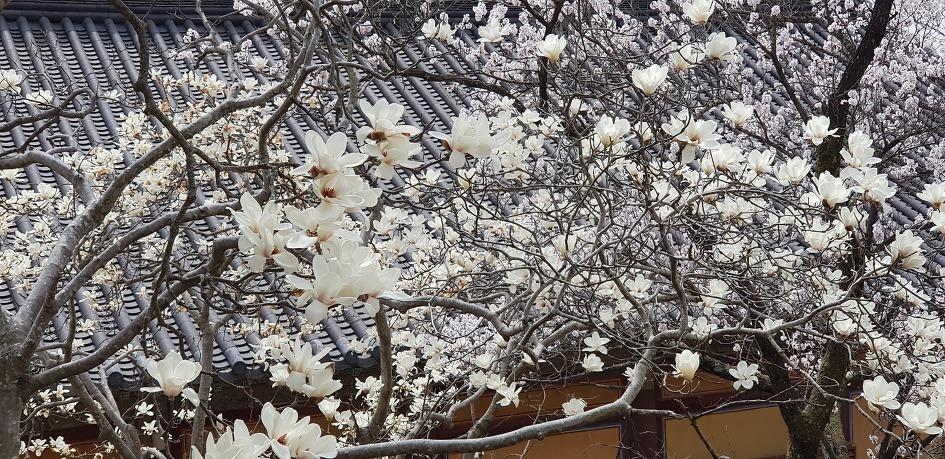 봄꽃사진 몇장> 봄에 젖으려면 머뭄이 필요한가 ?!!... 1804